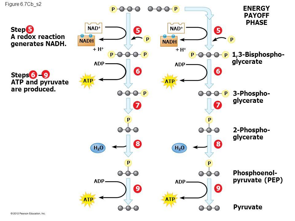 glycolysis steps