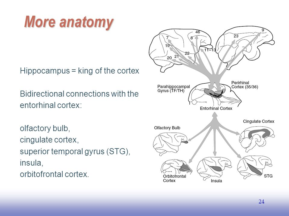 EE More anatomy Hippocampus = king of the cortex Bidirectional connections with the entorhinal cortex: olfactory bulb, cingulate cortex, superior temporal gyrus (STG), insula, orbitofrontal cortex.