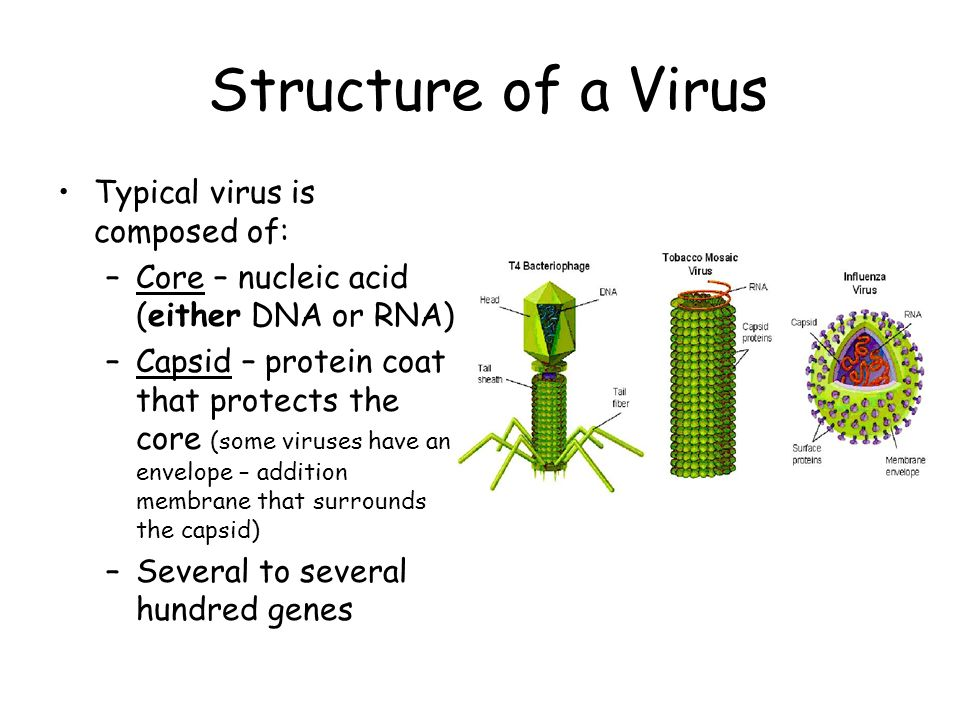 Structure of a Virus Typical virus is composed of: –Core – nucleic acid (either DNA or RNA) –Capsid – protein coat that protects the core (some viruses have an envelope – addition membrane that surrounds the capsid) –Several to several hundred genes