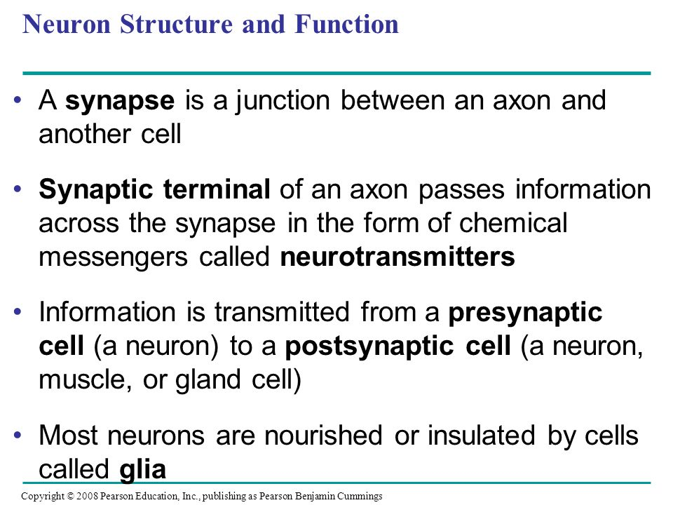 Copyright © 2008 Pearson Education, Inc., publishing as Pearson Benjamin Cummings A synapse is a junction between an axon and another cell Synaptic terminal of an axon passes information across the synapse in the form of chemical messengers called neurotransmitters Information is transmitted from a presynaptic cell (a neuron) to a postsynaptic cell (a neuron, muscle, or gland cell) Most neurons are nourished or insulated by cells called glia Neuron Structure and Function