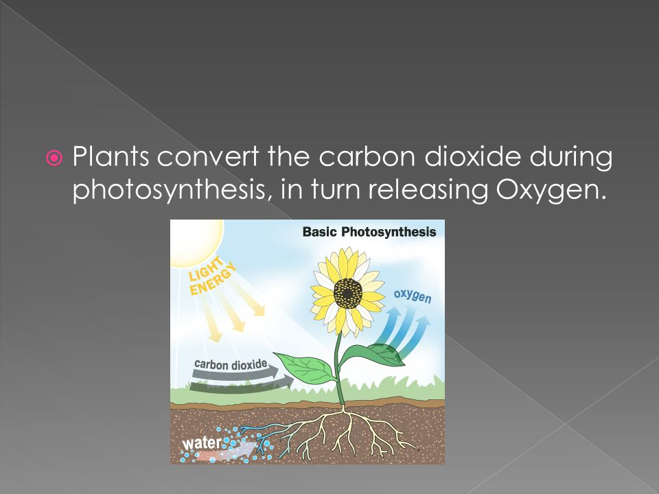  Plants convert the carbon dioxide during photosynthesis, in turn releasing Oxygen.