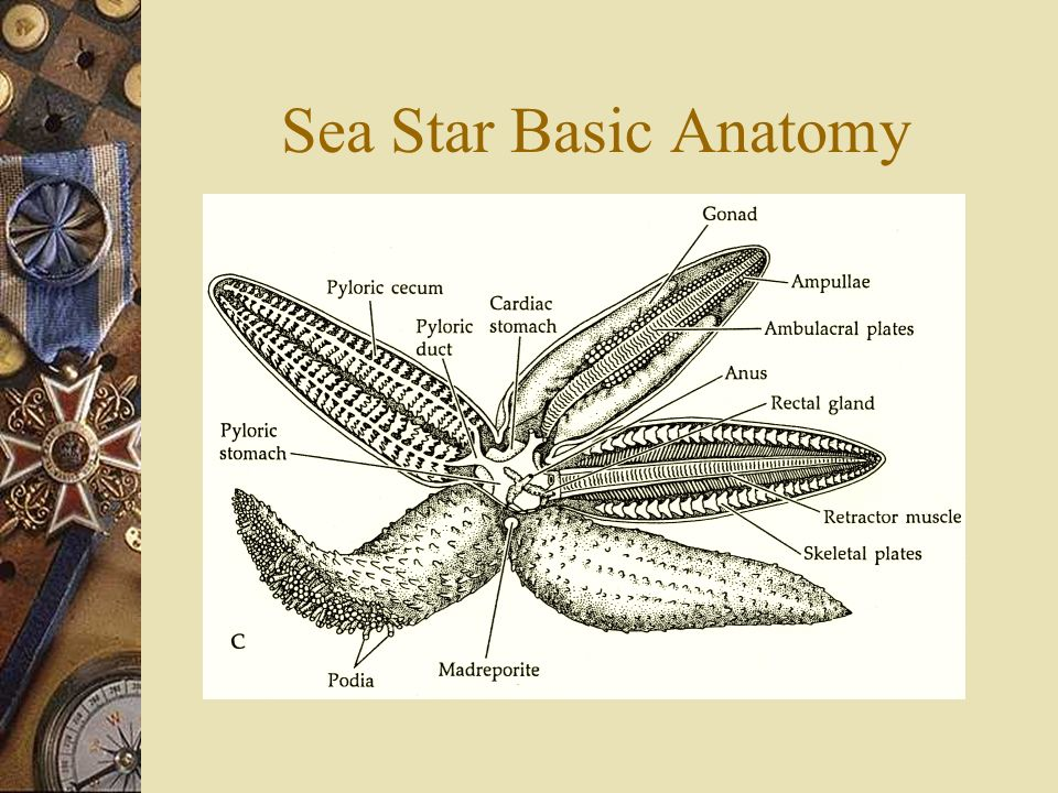 Sea star anatomy and functions