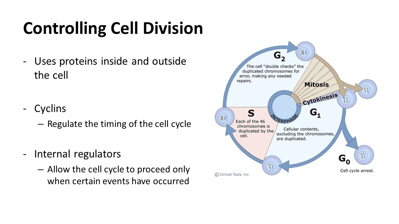 Cell Cycle Worksheet | THE CELL CYCLE WORKSHEET - DOC | Projects ...