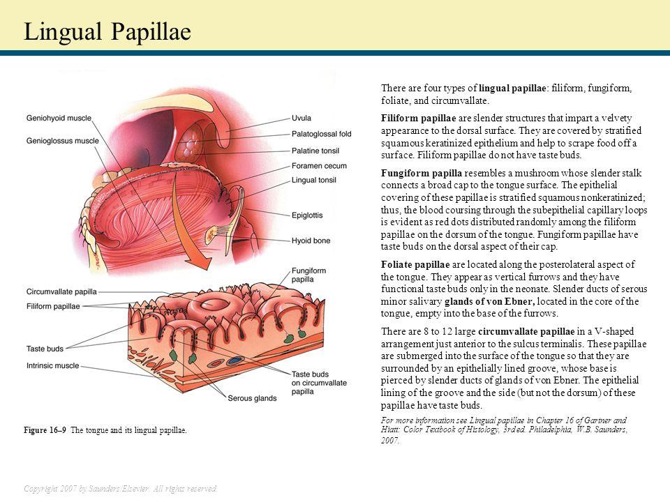 Foliate Papillae Cancer Choice Image - human anatomy organs diagram