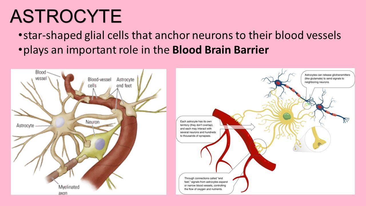 DENDRITES CELL BODY AXON MYELIN SHEATH GLIAL CELL / GLIA NODE OF ...