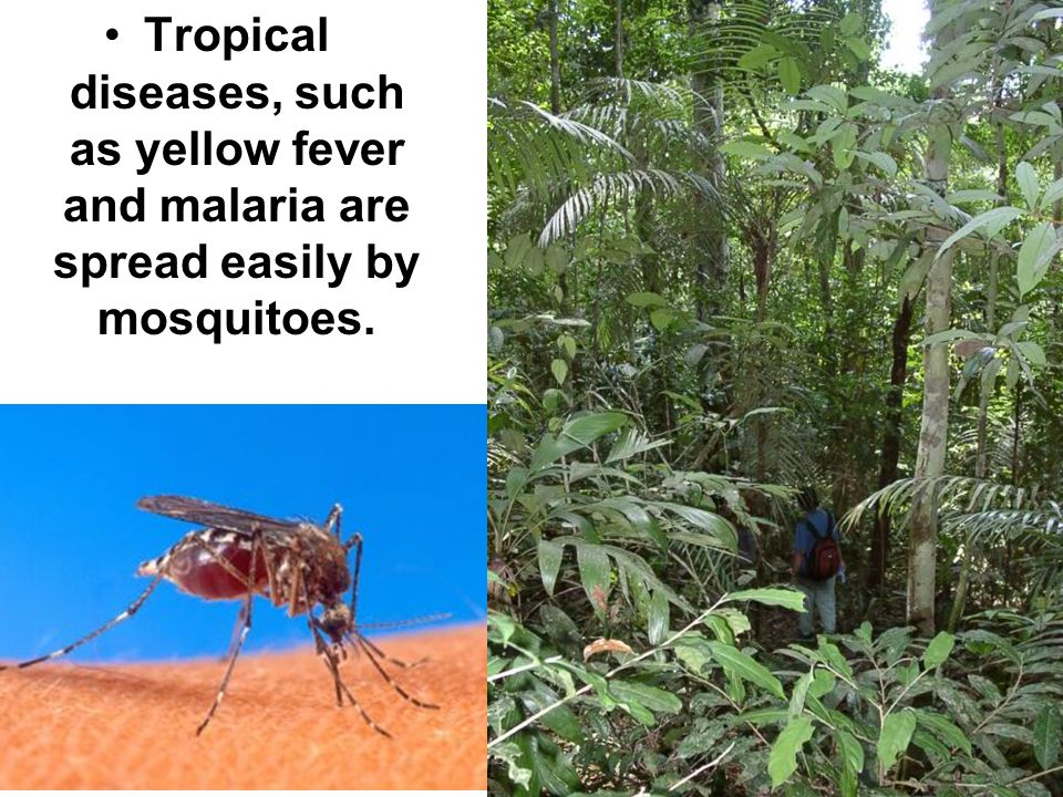 Tropical diseases, such as yellow fever and malaria are spread easily by mosquitoes.