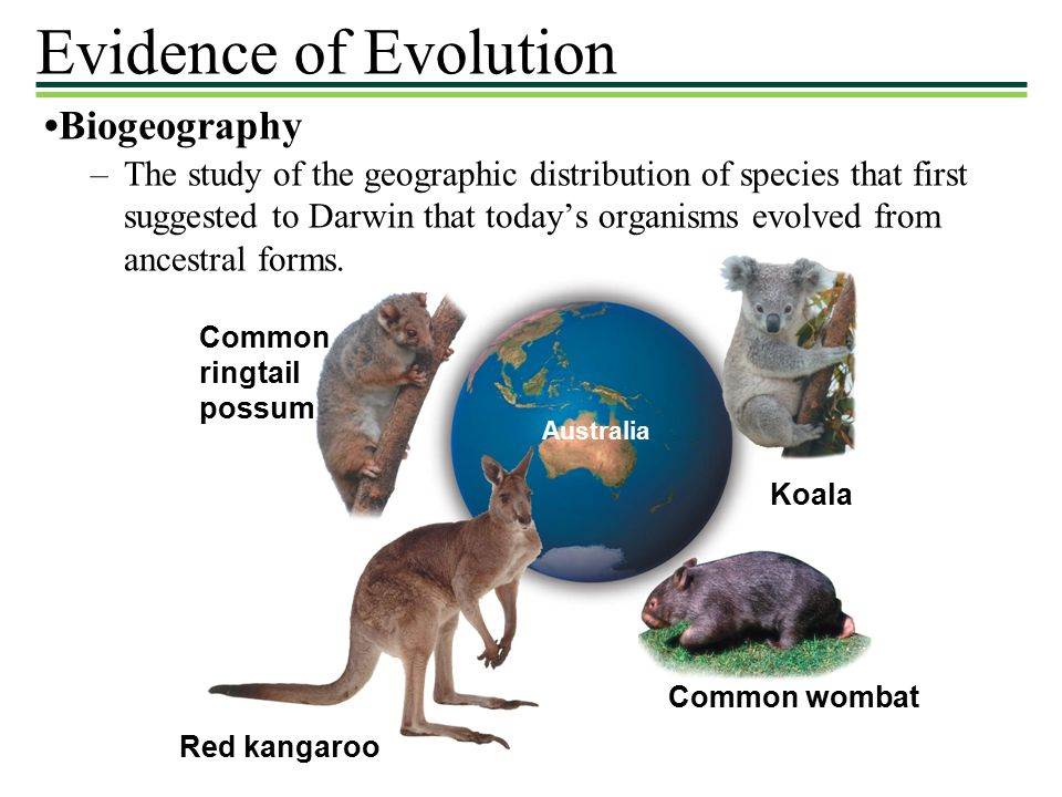 Biogeography Common ringtail possum Red kangaroo Common wombat Australia Koala –The study of the geographic distribution of species that first suggested to Darwin that today's organisms evolved from ancestral forms.