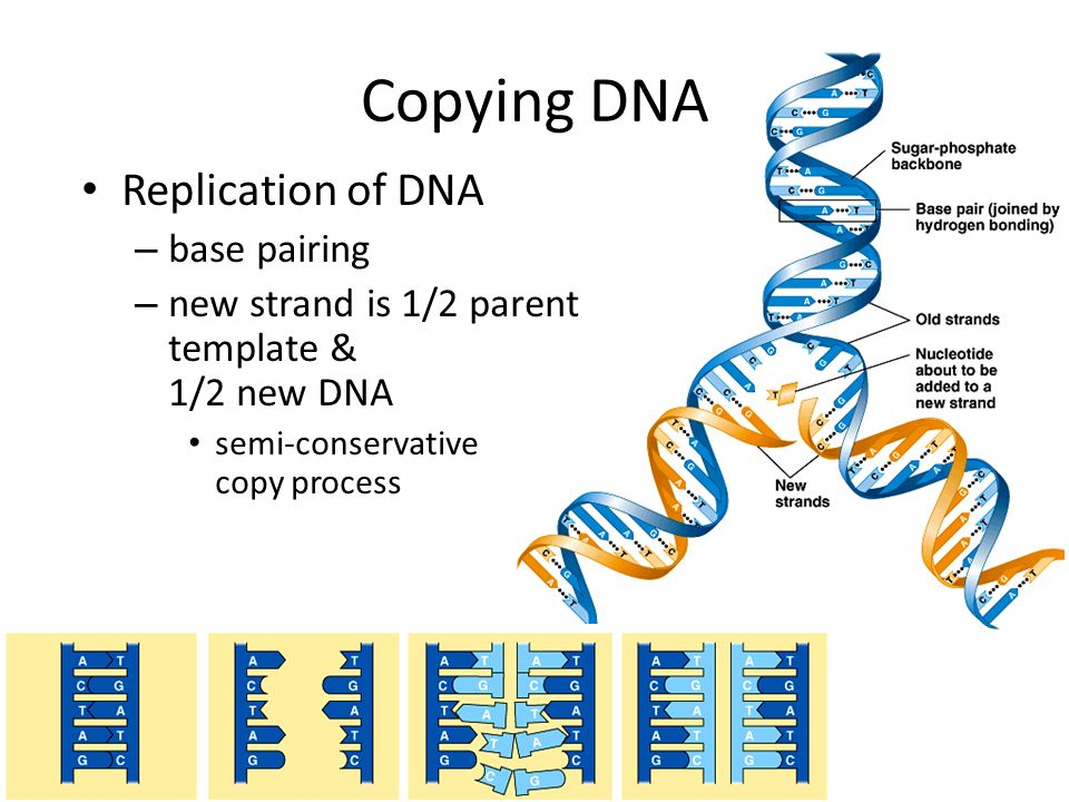 an overview of the process of dna transcription and dna replication dna hot pockets