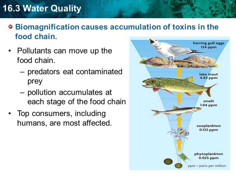 16.3 Water Quality Biomagnification causes accumulation of toxins in the food chain.