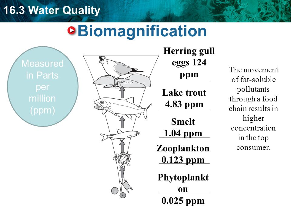 16.3 Water Quality Biomagnification Measured in Parts per million (ppm) The movement of fat-soluble pollutants through a food chain results in higher concentration in the top consumer.