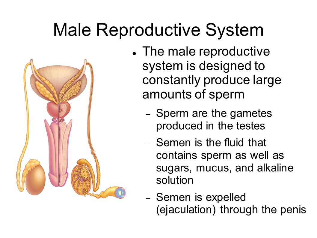 male reproductive system essay questions Answer the questions 1 as you appreciate, human reproduction is sexual, meaning that both a female and male partner are required to carry out its job, the reproductive systems perform two functions, mention and explain them 2 the male reproductive system performs three roles: produce, nourishes, and transports.
