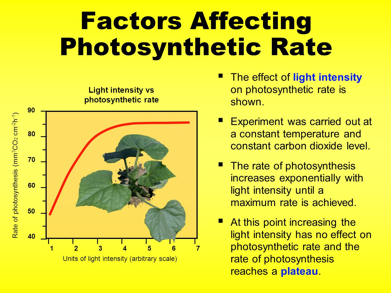effect light intensity rate photosynthesis Extracts from this document introduction biology coursework aim: to investigate the effect of light intensity on the rate of photosynthesis on elodea (pondweed.