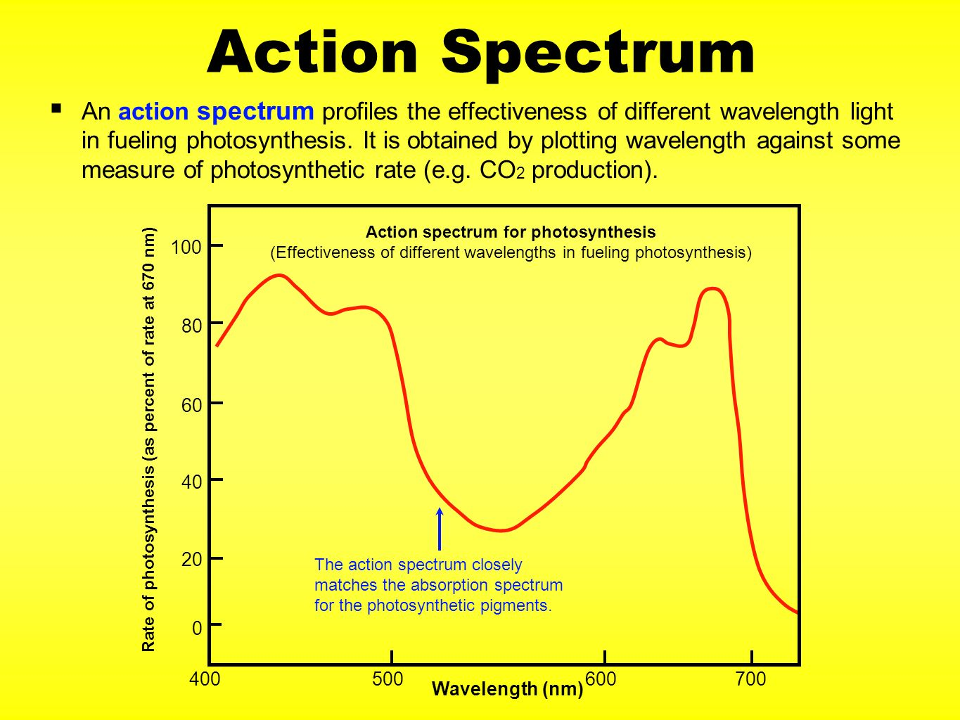 the effect of different wavelenghts of Photosynthesis is most efficient at light wavelengths between 400 and 500 nanometers and 600 to 700 nanometers the green pigment, chlorophyll, restricts the efficiency of photosynthesis photosynthesis is most efficient at light wavelengths between 400 and 500 nanometers and 600 to 700 nanometers.