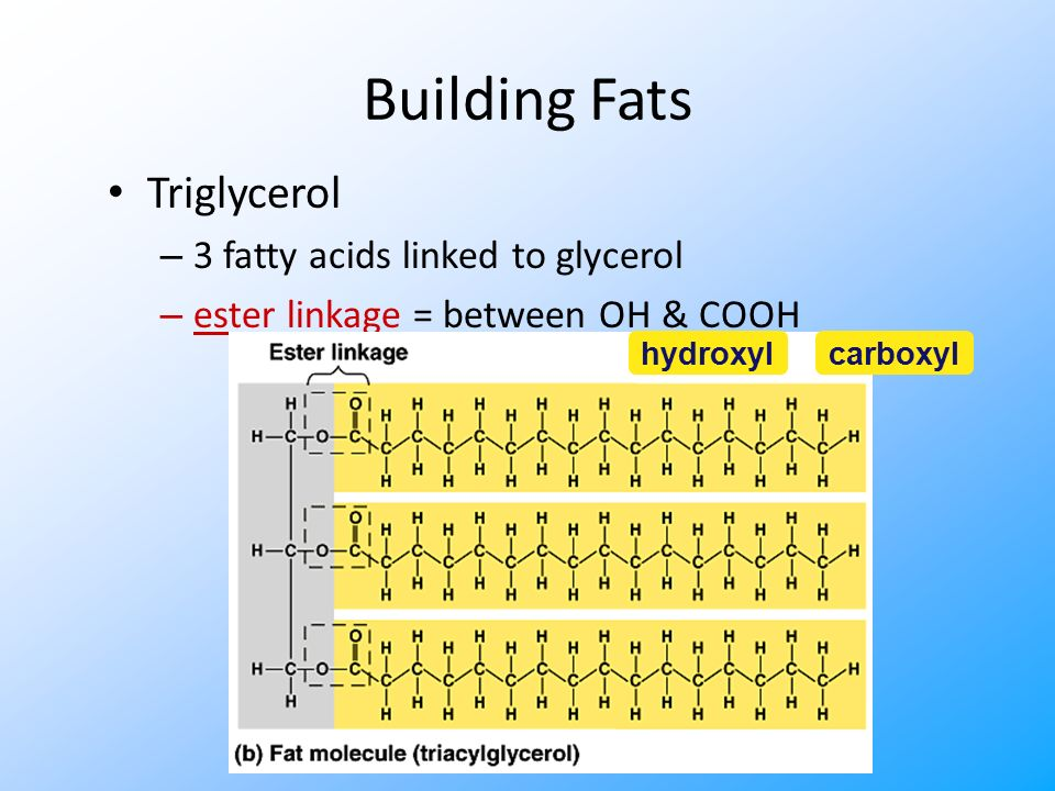 Fats Structure: – glycerol (3C alcohol) + fatty acid fatty acid = long HC tail with carboxyl (COOH) group head dehydration synthesis H2OH2O enzyme