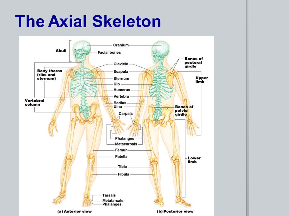Chapter 5 The Skeletal System Provides an internal framework for the ...