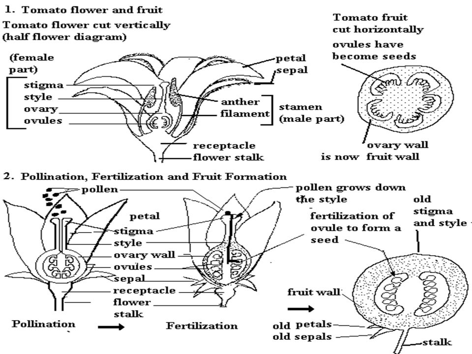 Sexual reproduction in flowering plants ppt download 58 ccuart Image collections