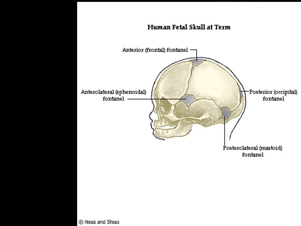Metopic Suture Ridge In Adults