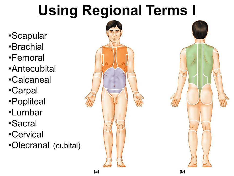 Regional terms anatomy