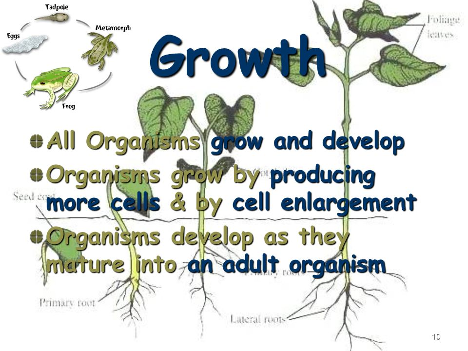 10 Growth All Organisms grow and develop Organisms grow by producing more cells & by cell enlargement Organisms develop as they mature into an adult organism