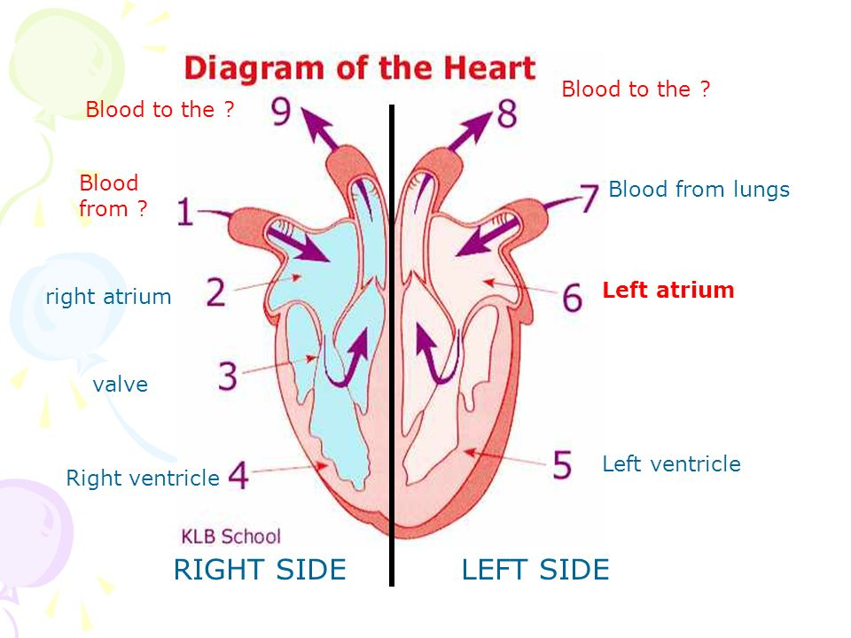 Circulatory system circulation heart structure 100s of free ppts 9 left ccuart Gallery