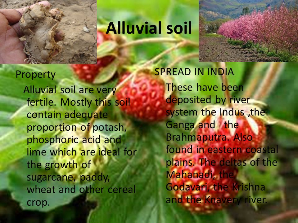 Alluvial soil Property Alluvial soil are very fertile.