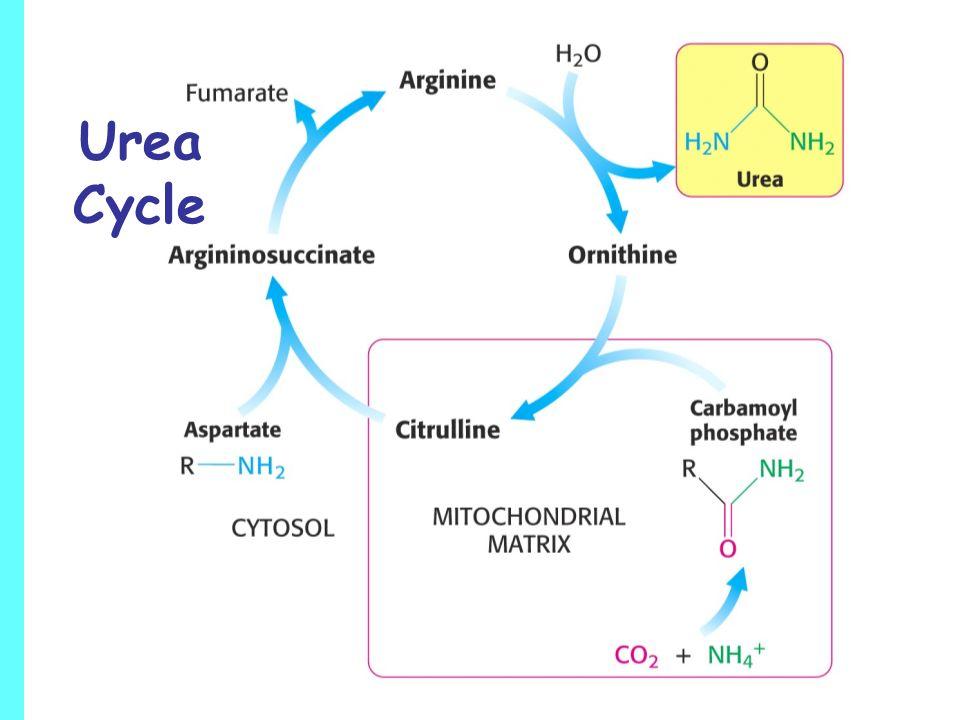 arginine sythesis pathway