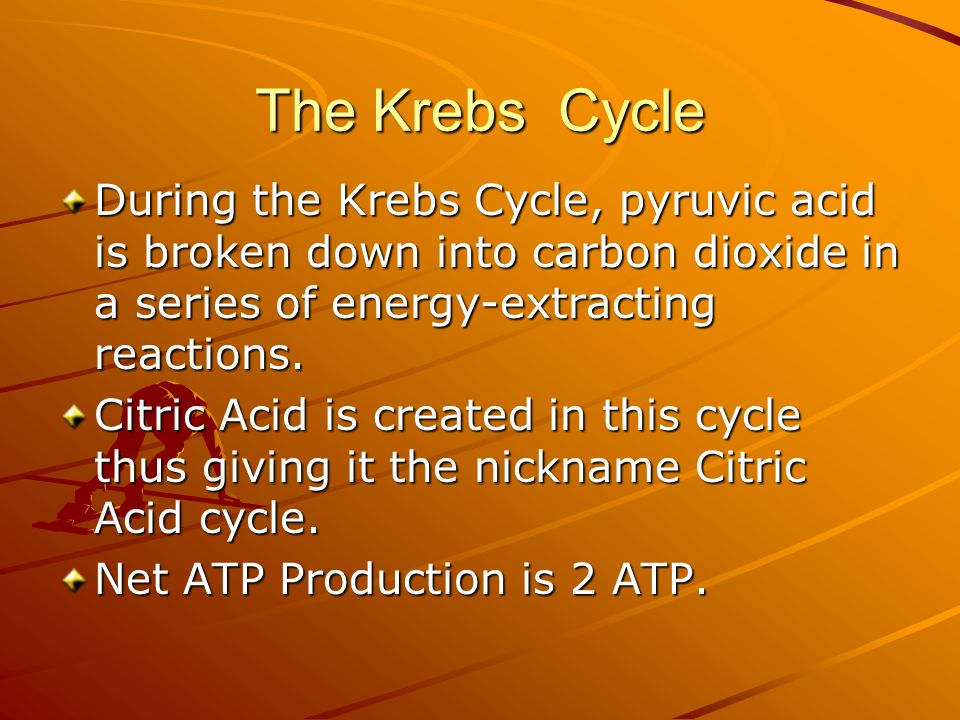 The Krebs Cycle During the Krebs Cycle, pyruvic acid is broken down into carbon dioxide in a series of energy-extracting reactions.