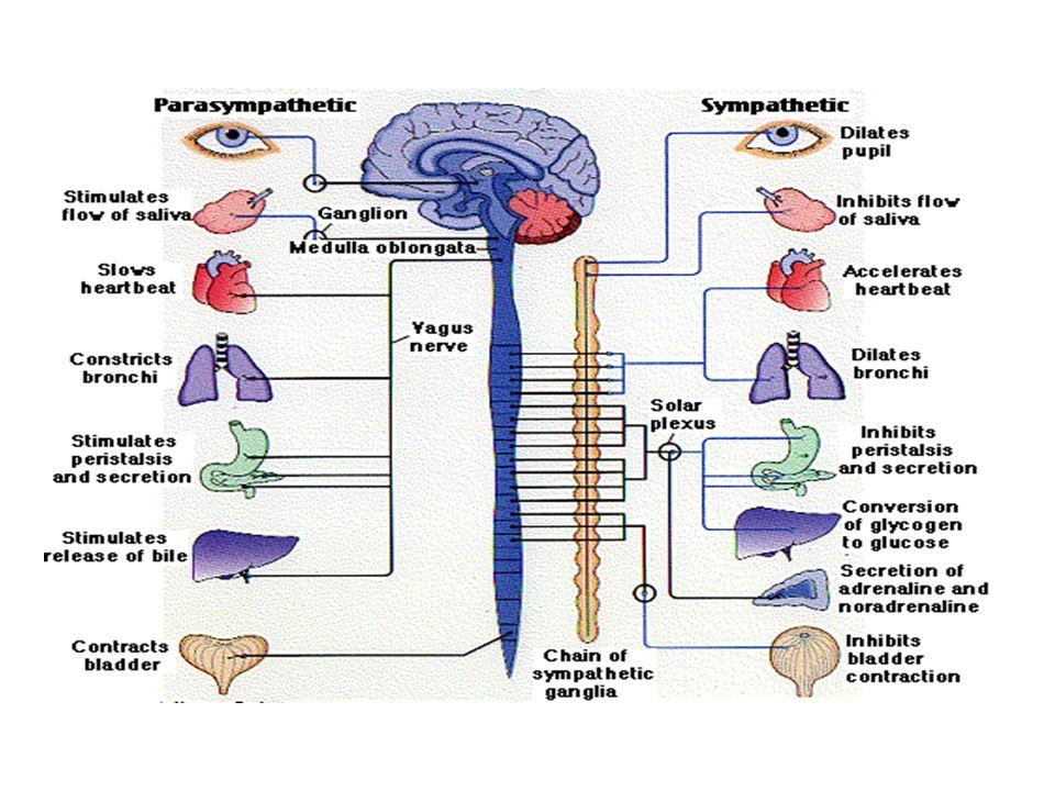 Parasympathetic ganglia