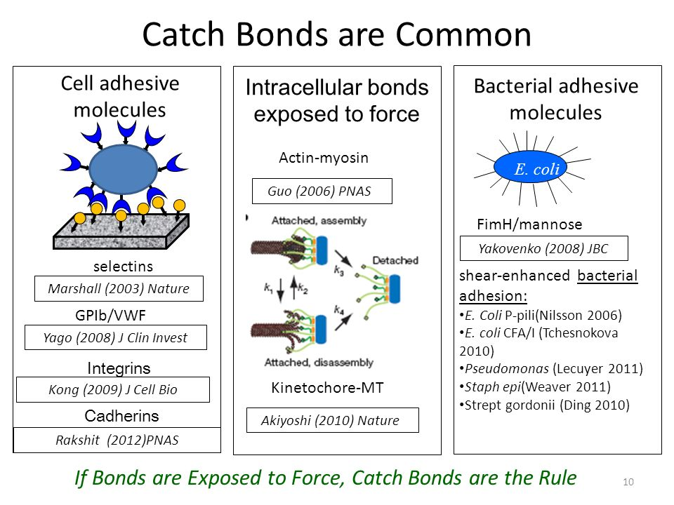 Catch Bonds are Common Guo (2006) PNAS Cell adhesive molecules Intracellular bonds exposed to force Integrins Marshall (2003) Nature Kong (2009) J Cell Bio selectins GPIb/VWF Yago (2008) J Clin Invest Actin-myosin Kinetochore-MT Akiyoshi (2010) Nature Cadherins Rakshit (2012)PNAS Bacterial adhesive molecules E.