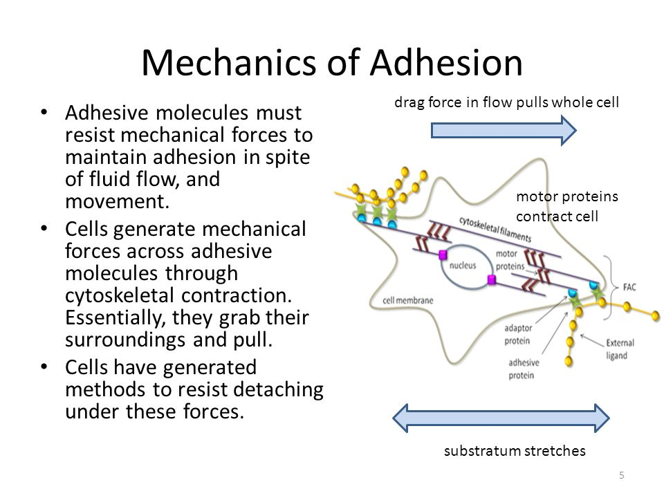 Mechanics of Adhesion Adhesive molecules must resist mechanical forces to maintain adhesion in spite of fluid flow, and movement.
