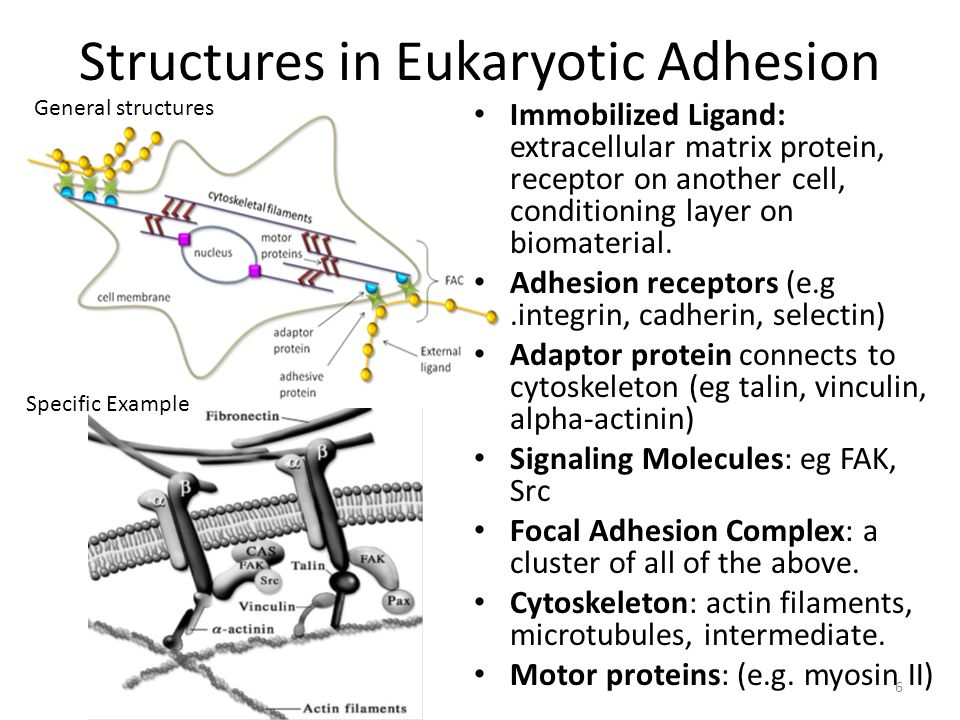 Structures in Eukaryotic Adhesion Immobilized Ligand: extracellular matrix protein, receptor on another cell, conditioning layer on biomaterial.