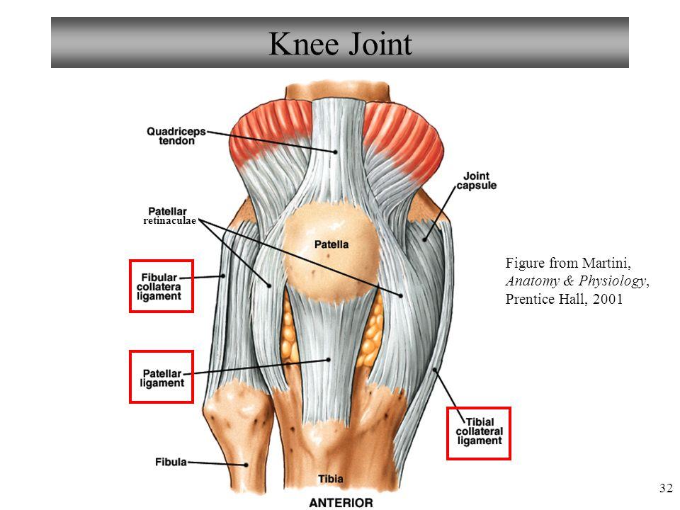 Großartig Anatomy And Physiology Of The Knee Fotos - Menschliche ...