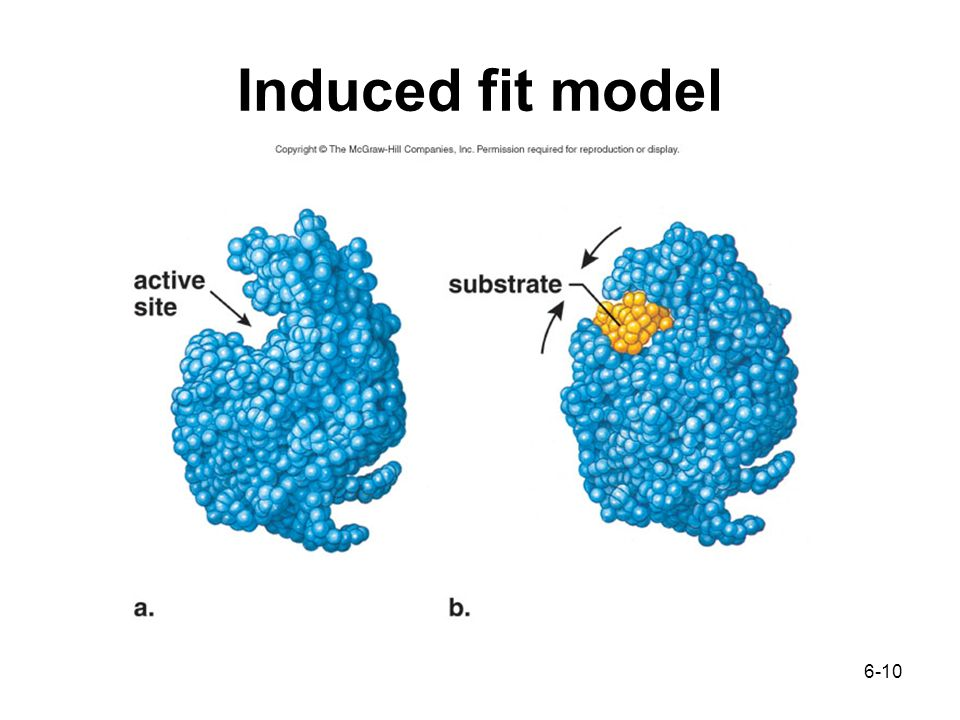 6-10 Induced fit model
