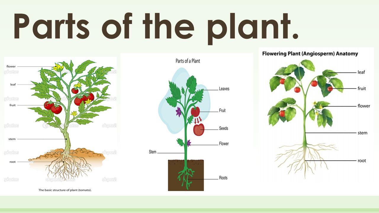 Erfreut Anatomy Of Plants Galerie - Menschliche Anatomie Bilder ...