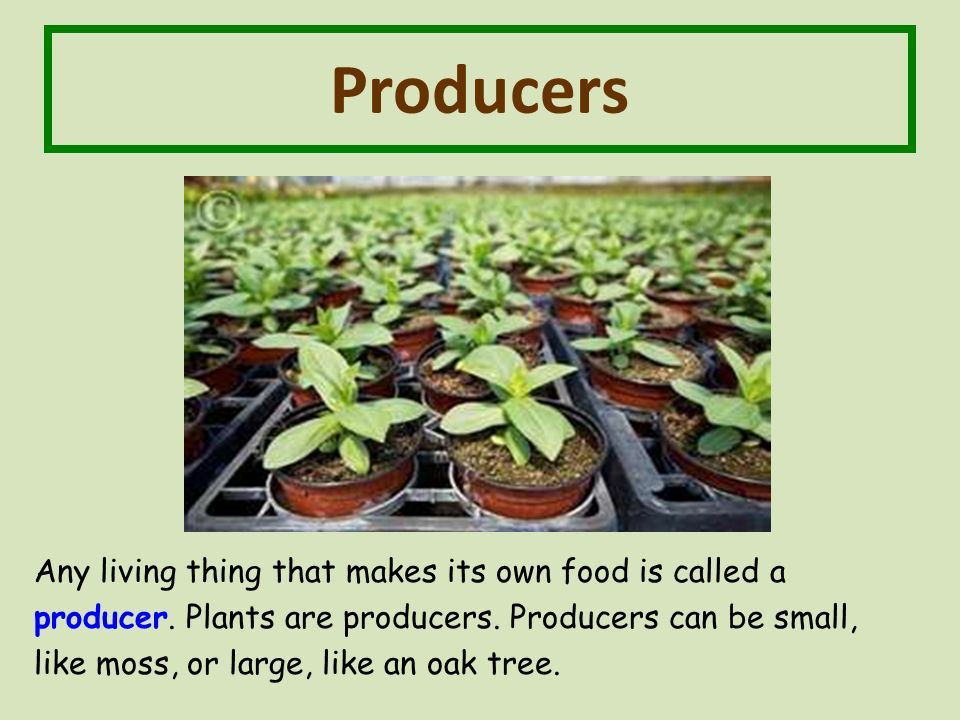 Producers Any living thing that makes its own food is called a producer.