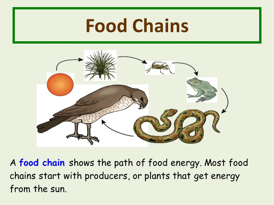 Food Chains A food chain shows the path of food energy.