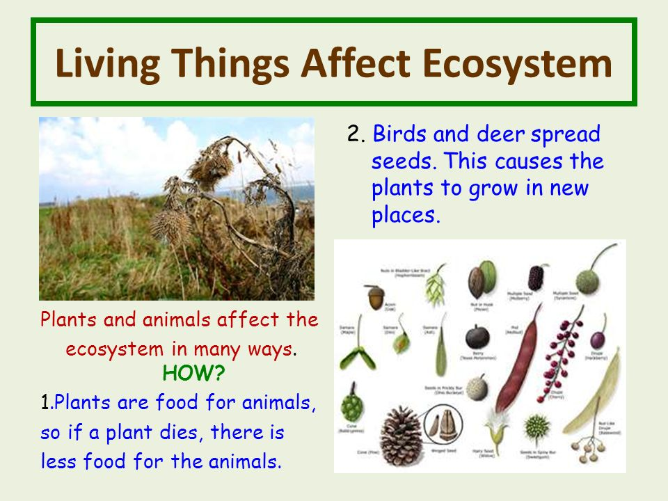 Living Things Affect Ecosystem Plants and animals affect the ecosystem in many ways.