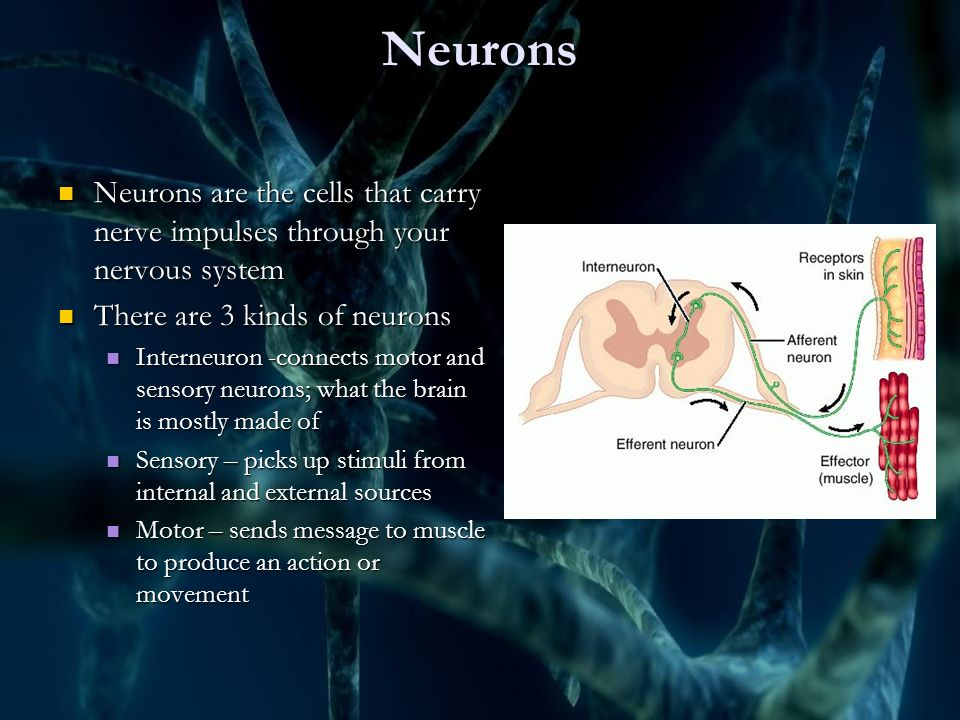 4 Neurons Neurons are the cells that carry nerve impulses through your nervous system ...