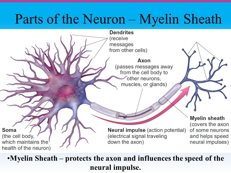Parts of the Neuron – Myelin Sheath Myelin Sheath – protects the axon and influences the speed of the neural impulse.