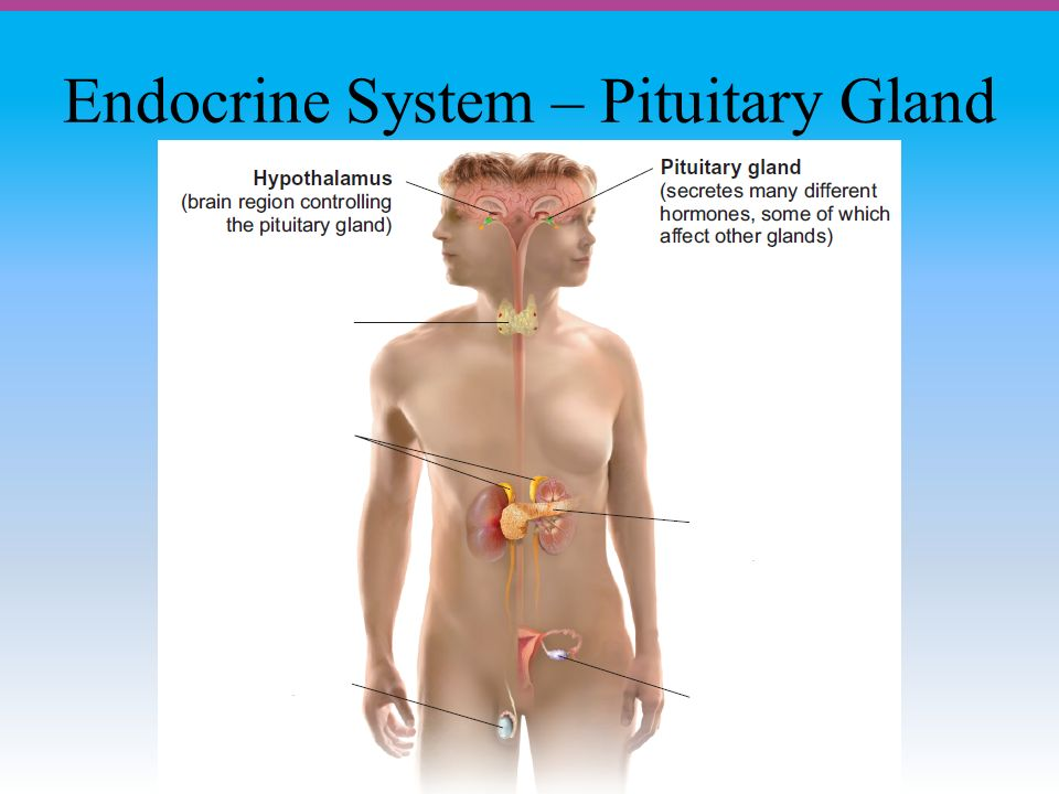 Endocrine System – Pituitary Gland