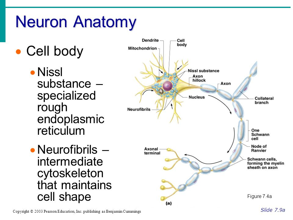 Neuron Anatomy Slide 7.9a Copyright © 2003 Pearson Education, Inc.