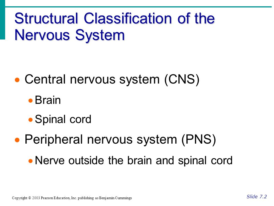 Structural Classification of the Nervous System Slide 7.2 Copyright © 2003 Pearson Education, Inc.