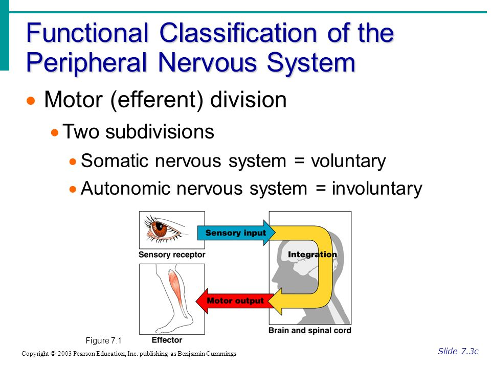 Functional Classification of the Peripheral Nervous System Slide 7.3c Copyright © 2003 Pearson Education, Inc.