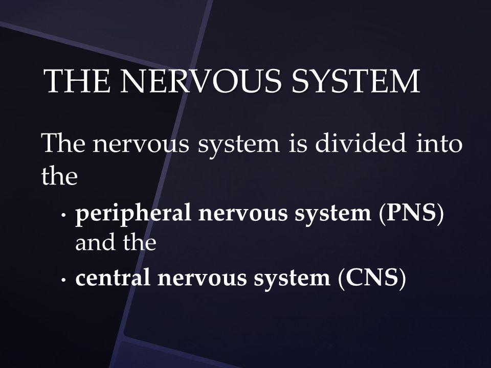 The nervous system is divided into the peripheral nervous system ( PNS ) and the central nervous system ( CNS ) THE NERVOUS SYSTEM
