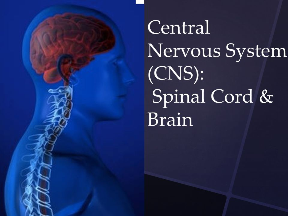 Central Nervous System (CNS): Spinal Cord & Brain