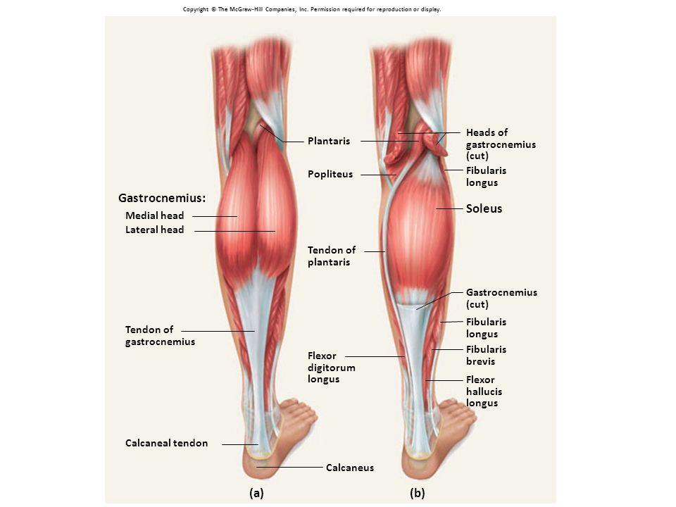 Berühmt Triceps Surae Anatomie Fotos - Anatomie Ideen - finotti.info