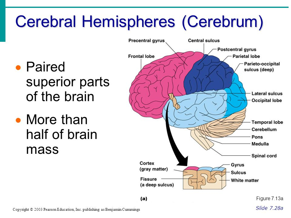 Cerebral Hemispheres (Cerebrum) Slide 7.28a Copyright © 2003 Pearson Education, Inc.