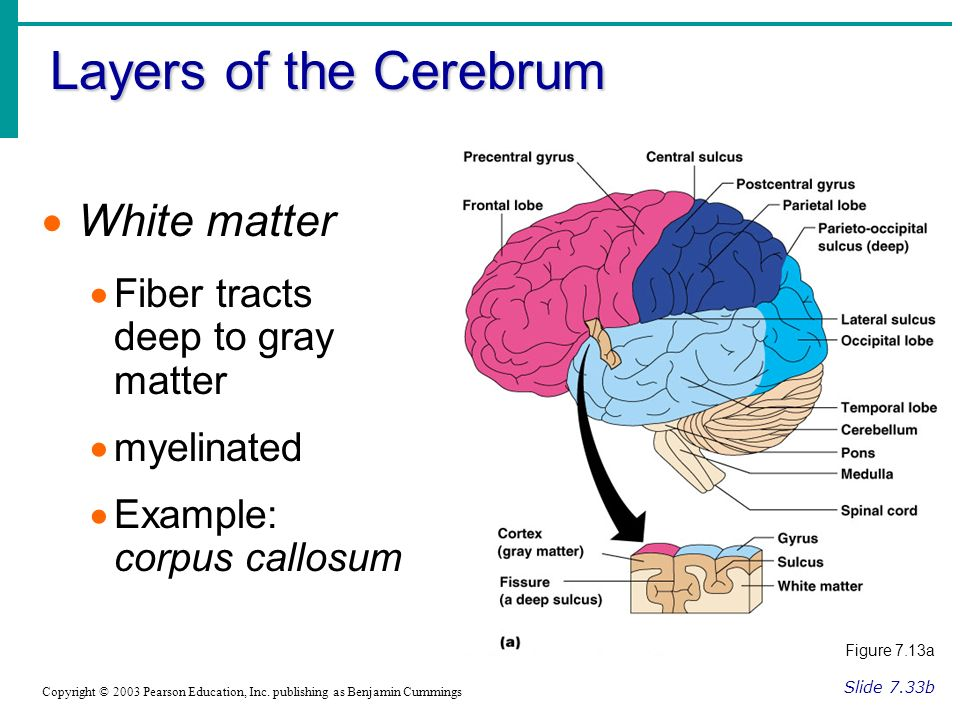 Layers of the Cerebrum Slide 7.33b Copyright © 2003 Pearson Education, Inc.