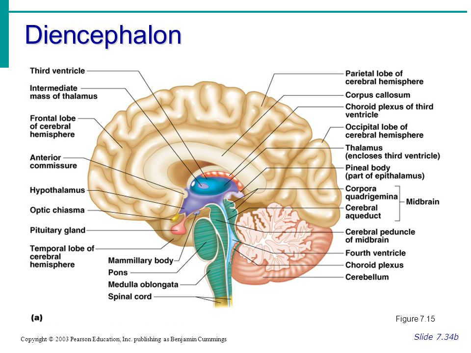 Diencephalon Slide 7.34b Copyright © 2003 Pearson Education, Inc.