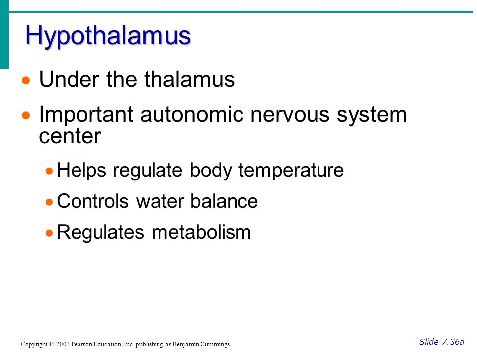 Hypothalamus Slide 7.36a Copyright © 2003 Pearson Education, Inc.